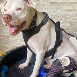 Cão que foi torturado e inspirou criação de lei contra ...