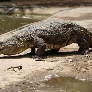Crocodilos jovens escapam de criadouro da África do Sul ...