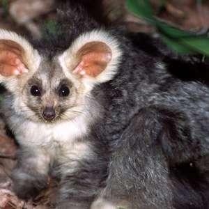 O desafio de se preservar marsupial 'fofo' e misterioso ...