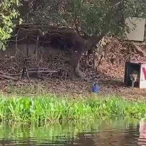 Vídeo: Onça que virou símbolo dos incêndios no Pantanal, volta à natureza