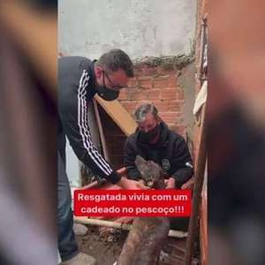 Cachorra presa com corrente e cadeado no pescoço é resgatada em Curitiba