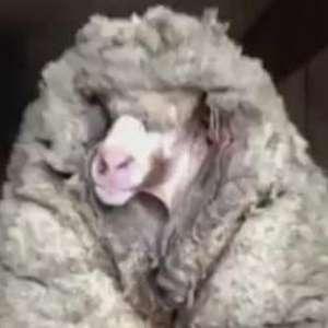 Carneiro selvagem é libertado de sua própria lã