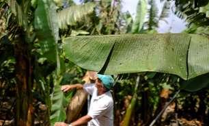Agricultores de La Palma se desesperam ao ver vulcão devastar plantações de banana