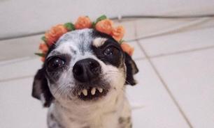 Conheça a Chloe, a cadelinha banguela que rouba a cena