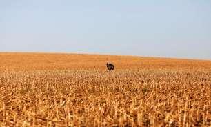 IHS Markit reduz em 4,6 mi t projeção de safra de milho 20/21 no Brasil