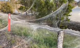 Por que teias de aranha estão dominando a paisagem na Austrália