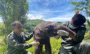 China: filhote de elefante se perde de manada e é resgatado
