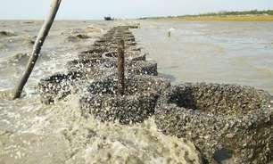 O inusitado uso de ostras para proteger Bangladesh do aumento do nível do mar