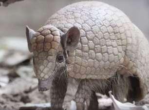 Cientistas correm contra o tempo para estudar animal símbolo do Brasil ameaçado de extinção