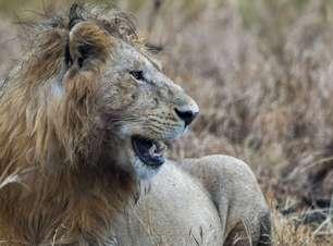 Caçador pisoteado por elefante é comido por leões na África do Sul