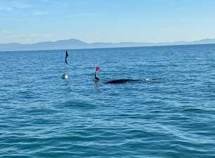 Pelo menos duas baleias-jubarte morrem presas a redes de pesca em Florianópolis