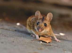 Invasão de ratos causa evacuação de prisão na Austrália