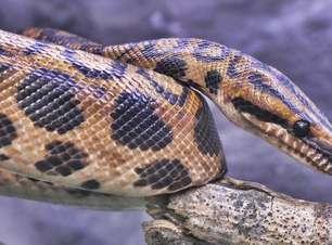 Asteroide que dizimou dinossauros determinou sucesso das cobras, aponta estudo