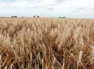 Safra de trigo segue atrasada no país, com 5,5% da área colhida