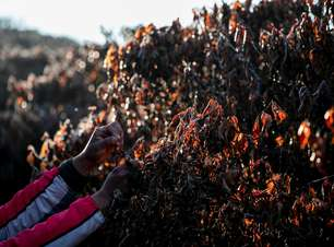 Governo define condições para liberação de crédito a cafeicultores atingidos por geadas