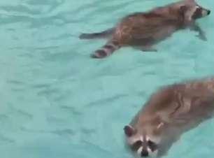 Vida boa: guaxinins tomam conta da piscina
