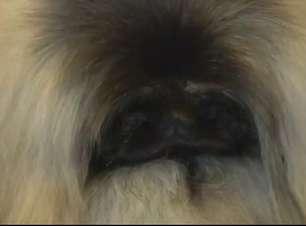 Cão imperial de Pequim é dificilmente encontrado na China