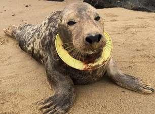 Foca ferida por frisbee preso no pescoço retorna ao mar