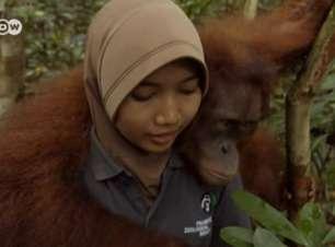 Pesquisadores reencontram orangotango que soltaram na mata
