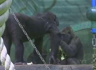 Zoológico de Moscou dá boas-vindas a raro bebê gorila