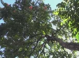 Projeto que autoriza poda e corte da árvore Espatodea é aprovado em Cascavel