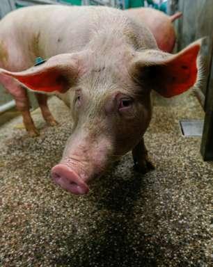 Brasil pode ter teste de rim de porco para humano em 2 anos