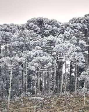 Neve e sincelo cobrem mata de pinheiros em Santa Catarina