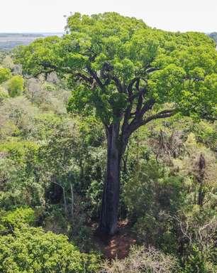 Árvore mais antiga do País está em SP e é possível visitá-la