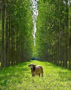 Integração pecuária-lavoura-floresta aumenta produtividade