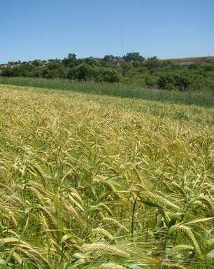 Nova cultivar de cevada pode ampliar produtividade em 10%