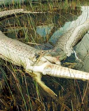 De bezerro a jacaré: quais são as maiores presas que uma cobra devora?