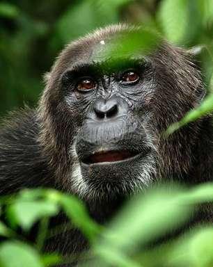 Aids: 1º caso teria sido em caçador de chimpanzés em 1908