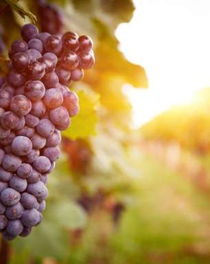 Substância do vinho tinto ajuda a controlar perda de memória
