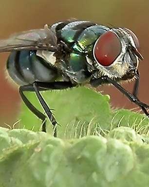 De infecções a pneumonia, estudo mostra que moscas podem transmitir mais doenças do que se imaginava
