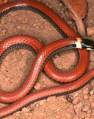 Biólogo brasileiro reúne imagens de todas as cobras já identificadas no Cerrado