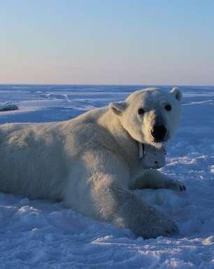 Câmera em coleira mostra luta de ursos polares para achar comida no Ártico