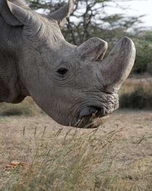 Morre último rinoceronte-branco do norte macho do mundo