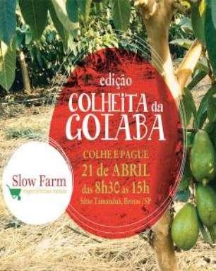 """Slow Farm - Colheita da Goiaba"""