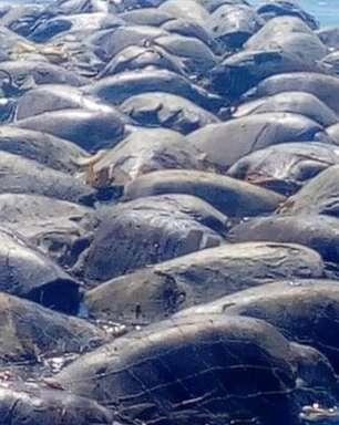 Mais de 300 tartarugas morrem em redes de pesca ilegal no México