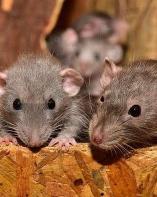 Gatos não são eficientes no controle de ratos, diz estudo