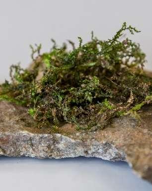 Conheça a radula, a planta que pode ser a maconha do futuro
