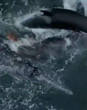 Vídeo: orcas perseguem e matam filhote de baleia-cinzenta