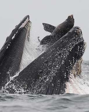 Fotógrafo registra momento em que baleia-jubarte quase engole leão-marinho