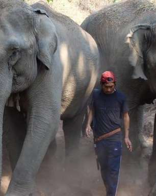 Coronavírus: elefantes da Tailândia podem morrer de fome com o colapso do turismo