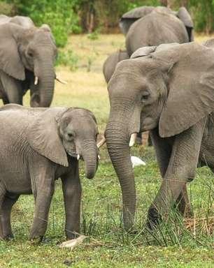 Caçador morre pisoteado por elefantes na África do Sul