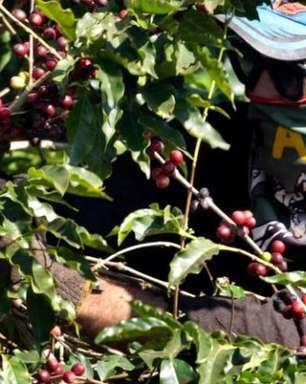 Café arábica recua mais de 3% na ICE; açúcar bruto fecha estável
