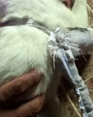 'Cachorro carteiro' que levava correspondência entre presos é apreendido no Panamá