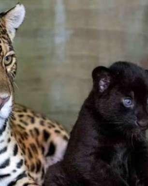 Filhote de onça-pintada nasce com pelagem preta; assista