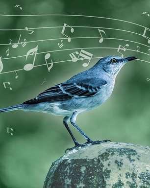 Técnicas musicais usadas por ave canora são similares às humanas