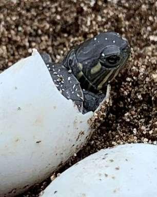Cientista opera tartaruga atropelada e salva sete ovos